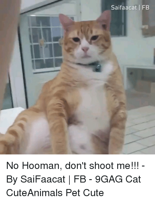 9gag, Cute, and Memes: Saifaacat FB No Hooman, don't shoot me!!! - By SaiFaacat | FB - 9GAG Cat CuteAnimals Pet Cute