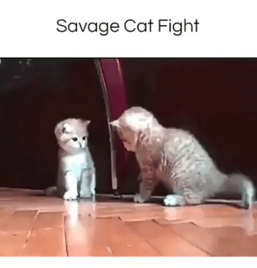 cat fight: Savage Cat Fight