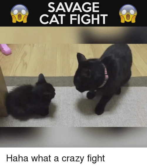 cat fighting: SAVAGE  CAT FIGHT Haha what a crazy fight