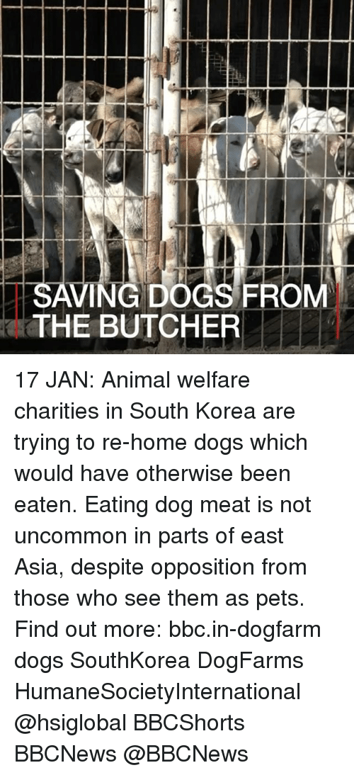 animal welfare: SAVING DOGS FROM  THE BUTCHER 17 JAN: Animal welfare charities in South Korea are trying to re-home dogs which would have otherwise been eaten. Eating dog meat is not uncommon in parts of east Asia, despite opposition from those who see them as pets. Find out more: bbc.in-dogfarm dogs SouthKorea DogFarms HumaneSocietyInternational @hsiglobal BBCShorts BBCNews @BBCNews