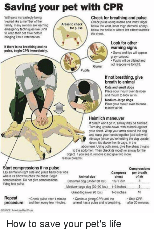 Memes, Red Cross, and 🤖: Saving your pet with CPR  With pets increasingly being  Check for breathing and pulse  treated like a member of the  Check pulse using middle and index finger  Areas to check  family, many owners are learning  for below the wrist, inner thigh (femoral artery,  pulse below the ankle or  where left elbow touches  emergency techniques like CPR  to keep their pet alive before  the chest.  bringing it to a  Look for other  If there is no breathing and no  warning signs  pulse, begin CPR immediately.  Gums and lips will appear  gray-colored.  Pupils will be dilated and  Gums not responsive to light.  Pupils  If not breathing, give  breath to animal  Cats and small dogs  Place your mouth over its nose  and mouth to blow air in.  Medium-large dogs  Place your mouth over its nose.  to blow air in  Heimlich maneuver  breath won't go in, airway may be blocked.  Turn dog upside down, with its back against  your chest. Wrap your arms around the dog  and clasp your hands together just below its  rib cage (since you're holding the dog upside  down, it's above the rib cage, in the  abdomen). Using both arms, give five sharp thrusts  to the abdomen. Then check its mouth or airway for the  object, you see it, remove it and give two more  rescue breaths,  Start compressions if no pulse  Compressions  Lay animal on right side and place hand over ribs  Compress  per breath  where its elbow touches the chest. Begin  Animal size  of chest  compressions. Do not give compression  Catsman dog (Under 30 lbs) 1/2.1 inch  dog has pulse.  Medium large dog (30-90 lbs) 1-3inches 5  Giant dog (over 90 lbs) 1-3 inches  10  Repeat  Check pulse after 1 minute  Continue giving CPR until the  Stop CPR  procedure and then every few minutes,  animal has a pulse and is breathing. after 20 minutes,  SOURCE American Red Cross How to save your pet's life