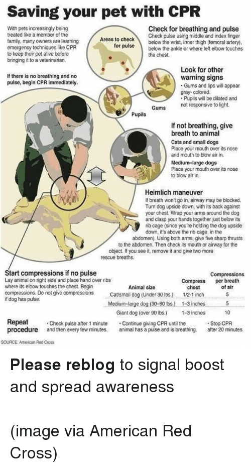Alive, Cats, and Dogs: Saving your pet with CPR  With pets increasingly being  treated like a member of the  family, many owners are learning  emergency techniques like CPR  to keep their pet alive before  bringing it to a veterinarian.  Check for breathing and pulse  Check pulse using middle and index finger  below the wrist, inner thigh (femoral artery)  Areas to check  orpulsebelow the ankle or where left elbow touches  the chest.  Look for other  If there is no breathing and no  pulse, begin CPR immediately.  warning signs  Gums and lips will appear  gray- colored  Pupils will be dilated and  Gums  not responsive to light.  Pupils  If not breathing, give  breath to animal  Cats and small dogs  Place your mouth over its nose  and mouth to blow air in.  Medium-large dogs  Place your mouth over its nose  to blow air in.  Heimlich maneuver  If breath won't go in, airway may be blocked.  Turn dog upside down, with its back against  your chest. Wrap your arms around the dog  and clasp your hands together just below its  rib cage (since you're holding the dog upside  down, it's above the rnb cage, in the  abdomen). Using both arms, give five sharp thrusts  to the abdomen. Then check its mouth or airway for the  object. If you see it, remove it and give two more  rescue breaths.  Start compressions if no pulse  Lay animal on right side and place hand over ribs  where its elbow touches the chest. Begin  compressions. Do not give compressionsCasmll dog (Under 30 Ibs.)  if dog has pulse.  Compressions  Compress breath  Animal size  chest  of air  1/2-1 inc5  Medium-large dog (30-90 bs) 1-3 inches 5  Giant dog (over 90 bs.) -3 inches 10  Repeat Check pulse after 1 minute Continue giving CPR until the  procedure and then every few minutes animal has a pulse and is breathing. afer 20 minutes.  Stop CPR  SOURCE: American Red Cross <p><b>Please reblog</b> to signal boost and spread awareness<br/><br/>(image via American Red Cross)</p>