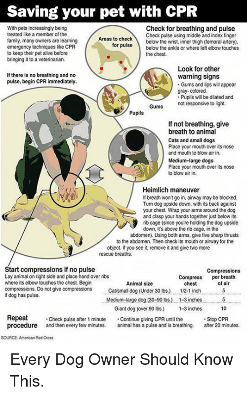 Alive, Cats, and Dogs: Saving your pet with CPR  With pets increasingly being  treated like a member of the  family, many owners are learning  emergency techniques like CPR  to keep their pet alive before  bringing it to a veterinarian.  Check for breathing and pulse  Check pulse using middle and index finger  as to checkbelow the wrist, inner thigh (temoral artery)  ruse below the ankle or where left elbow touches  for  the chest.  Look for other  If there is no breathing and no  pulse, begin CPR immediately.  warning signs  Gums and lips will appear  gray- colored.  Pupils will be dilated and  not responsive to light.  Pupils  If not breathing, give  breath to animal  Cats and small dogs  Place your mouth over its nose  and mouth to blow air in.  Medium-large dogs  Place your mouth over its nose  to blow air in.  Heimlich maneuver  If breath won't go in, airway may be blocked.  Tun dog upside down, with its back against  your chest. Wrap your arms around the dog  and clasp your hands together just below its  rib cage (since you're holding the dog upside  down, it's above the rib cage, in the  abdomen). Using both arms, give five sharp thrusts  to the abdomen. Then check its mouth or airway for the  object. If you see it, remove it and give two more  rescue breaths.  Start compressions if no pulse  Lay animal on right side and place hand over ribs  where its elbow touches the chest. Begin  compressions. Do not give compressions tsmall dog (Under 30 lbs.)  if dog has pulse.  Compressions  Compress per breath  Animal size  chest  12-1 inch  of air  Medium-arge dog (30-90 lbs.) . 1-3 inches5  10  Giant dog (over 90 lbs) -3 inches  Repeat  procedure and then every few minutes. al has a pulse and is breathing. after 20 minutes.  Check pulse after 1 minute Continue giving CPR until the  Stop CPR  SOURCE: American Red Cross <p>Every Dog Owner Should Know This.</p>