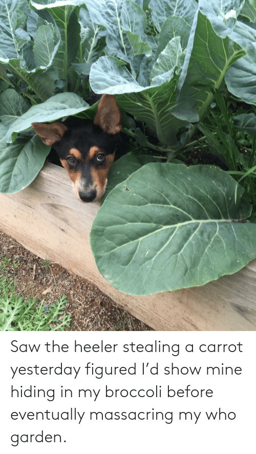 Stealing A: Saw the heeler stealing a carrot yesterday figured I'd show mine hiding in my broccoli before eventually massacring my who garden.