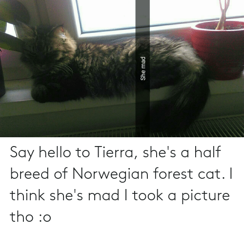 half breed: Say hello to Tierra, she's a half breed of Norwegian forest cat. I think she's mad I took a picture tho :o