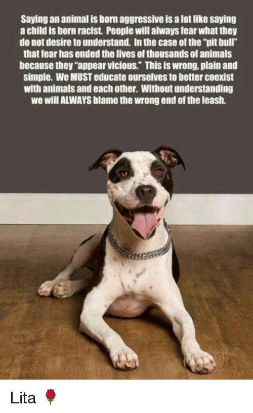 pitbulls are not born aggresive A dog aggressive pit bull is more times than not extremely friendly towards people if you have a human aggressive pit bull, this dog should be either confined or put to sleep as this is not normal for the breed and is dangerous to the public.