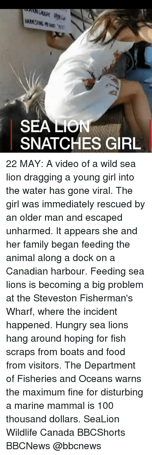 Hungryness: SEA LO  SNATCHES GIRL 22 MAY: A video of a wild sea lion dragging a young girl into the water has gone viral. The girl was immediately rescued by an older man and escaped unharmed. It appears she and her family began feeding the animal along a dock on a Canadian harbour. Feeding sea lions is becoming a big problem at the Steveston Fisherman's Wharf, where the incident happened. Hungry sea lions hang around hoping for fish scraps from boats and food from visitors. The Department of Fisheries and Oceans warns the maximum fine for disturbing a marine mammal is 100 thousand dollars. SeaLion Wildlife Canada BBCShorts BBCNews @bbcnews