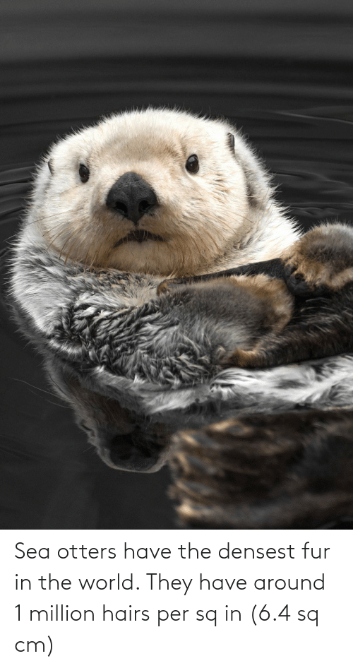 fur: Sea otters have the densest fur in the world. They have around 1 million hairs per sq in (6.4 sq cm)