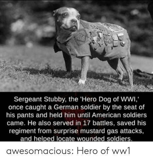 ww1: Sergeant Stubby, the 'Hero Dog of WWI,  once caught a German soldier by the seat of  his pants and held him until American soldiers  came. He also served in 17 battles, saved his  regiment from surprise mustard gas attacks,  and helped locate wounded soldiers. awesomacious:  Hero of ww1
