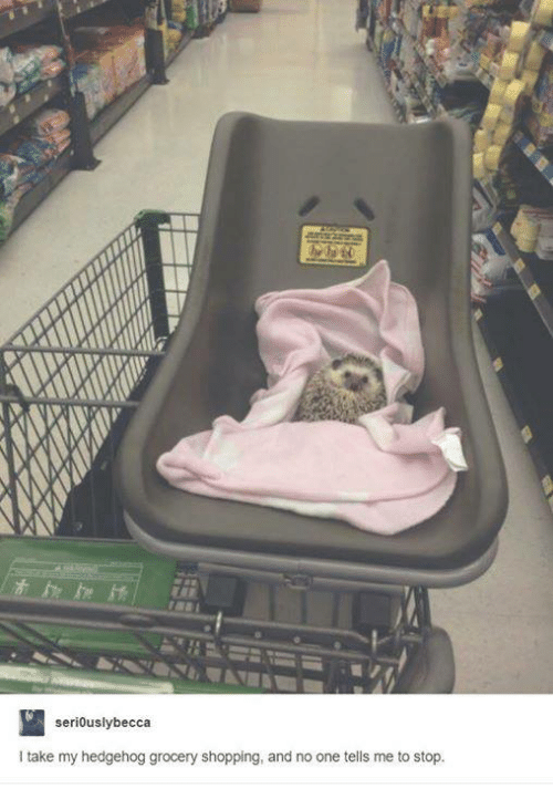 Hedgehoging: seri0uslybecca  I take my hedgehog grocery shopping, and no one tells me to stop