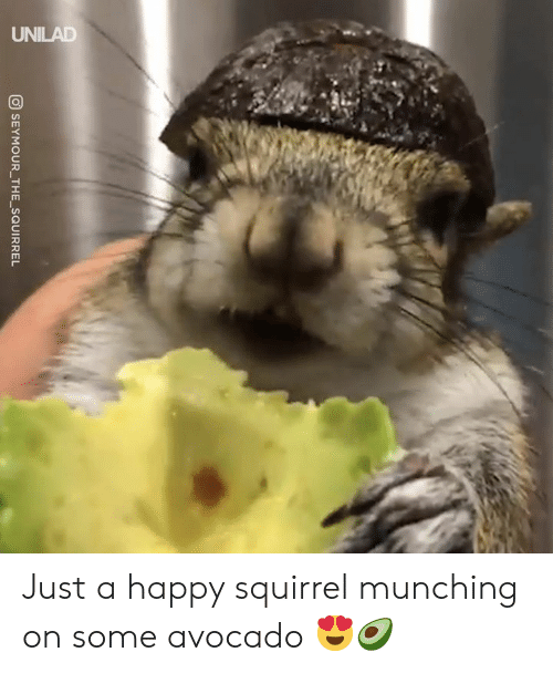 Dank, Avocado, and Happy: SEYMOURTHESQUIRREL  -  - Just a happy squirrel munching on some avocado 😍🥑