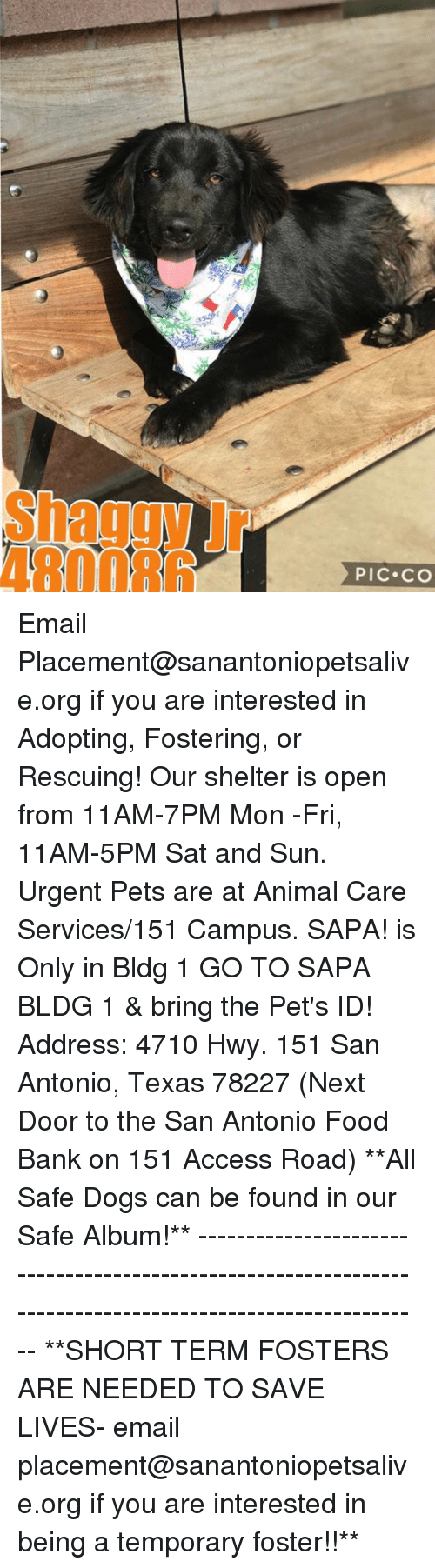 Dogs, Food, and Memes: Shaggy Jr  480086  PIC CO Email Placement@sanantoniopetsalive.org if you are interested in Adopting, Fostering, or Rescuing!  Our shelter is open from 11AM-7PM Mon -Fri, 11AM-5PM Sat and Sun.  Urgent Pets are at Animal Care Services/151 Campus. SAPA! is Only in Bldg 1 GO TO SAPA BLDG 1 & bring the Pet's ID! Address: 4710 Hwy. 151 San Antonio, Texas 78227 (Next Door to the San Antonio Food Bank on 151 Access Road)  **All Safe Dogs can be found in our Safe Album!** ---------------------------------------------------------------------------------------------------------- **SHORT TERM FOSTERS ARE NEEDED TO SAVE LIVES- email placement@sanantoniopetsalive.org if you are interested in being a temporary foster!!**
