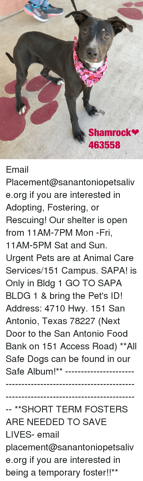 Dogs, Food, and Memes: Shamrock  463558 Email Placement@sanantoniopetsalive.org if you are interested in Adopting, Fostering, or Rescuing!  Our shelter is open from 11AM-7PM Mon -Fri, 11AM-5PM Sat and Sun.  Urgent Pets are at Animal Care Services/151 Campus. SAPA! is Only in Bldg 1 GO TO SAPA BLDG 1 & bring the Pet's ID! Address: 4710 Hwy. 151 San Antonio, Texas 78227 (Next Door to the San Antonio Food Bank on 151 Access Road)  **All Safe Dogs can be found in our Safe Album!** ---------------------------------------------------------------------------------------------------------- **SHORT TERM FOSTERS ARE NEEDED TO SAVE LIVES- email placement@sanantoniopetsalive.org if you are interested in being a temporary foster!!**