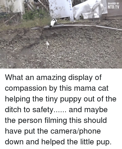 The Littl: SHARED BY  NTD TV What an amazing display of compassion by this mama cat helping the tiny puppy out of the ditch to safety...... and maybe the person filming this should have put the camera/phone down and helped the little pup.