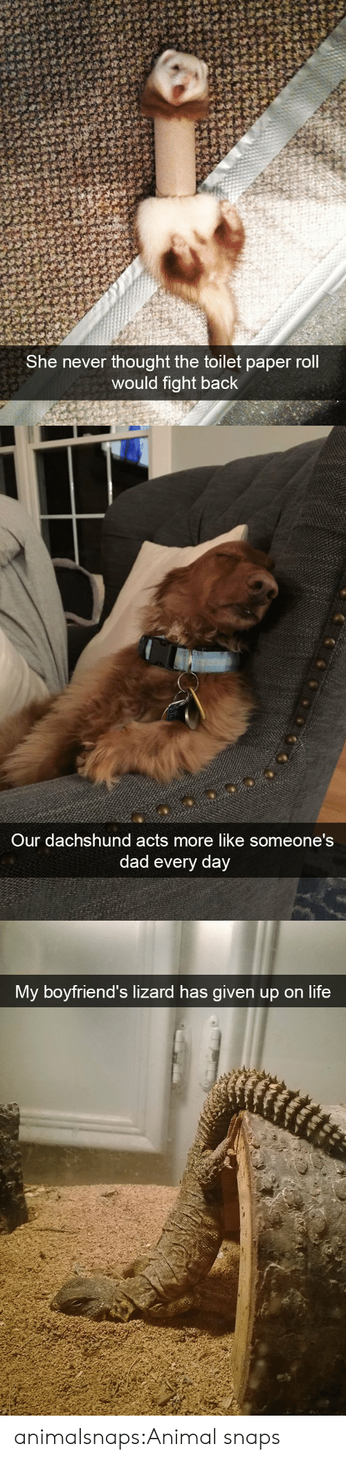 Acts: She never thought the toilet paper roll  would fight back   Our dachshund acts more like someone's  dad every day   My boyfriend's lizard has given up on life animalsnaps:Animal snaps