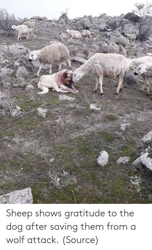 Wolf: Sheep shows gratitude to the dog after saving them from a wolf attack. (Source)