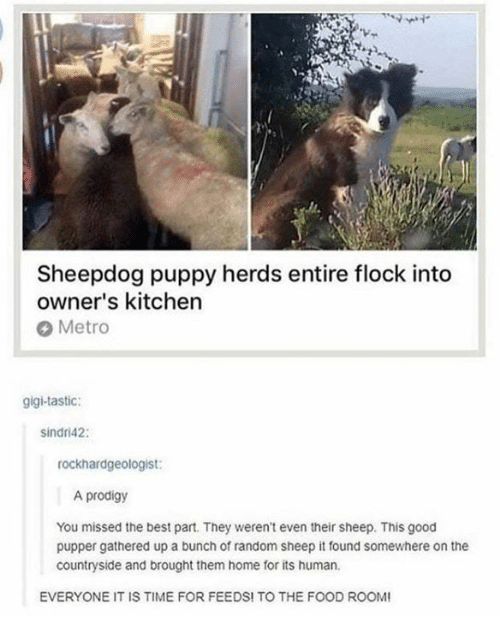 Food, Best, and Good: Sheepdog puppy herds entire flock into  owner's kitchen  Metro  gigi-tastic:  sindri42:  rockhardgeologist:  A prodigy  You missed the best part. They weren't even their sheep. This good  pupper gathered up a bunch of random sheep it found somewhere on the  countryside and brought them home for its human.  EVERYONE IT IS TIME FOR FEEDS! TO THE FOOD ROO