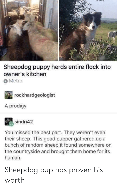Best, Good, and Home: Sheepdog puppy herds entire flock into  owner's kitchen  Metro  rockhardgeologist  A prodigy  sindri42  You missed the best part. They weren't even  their sheep. This good pupper gathered up a  bunch of random sheep it found somewhere on  the countryside and brought them home for its  human Sheepdog pup has proven his worth