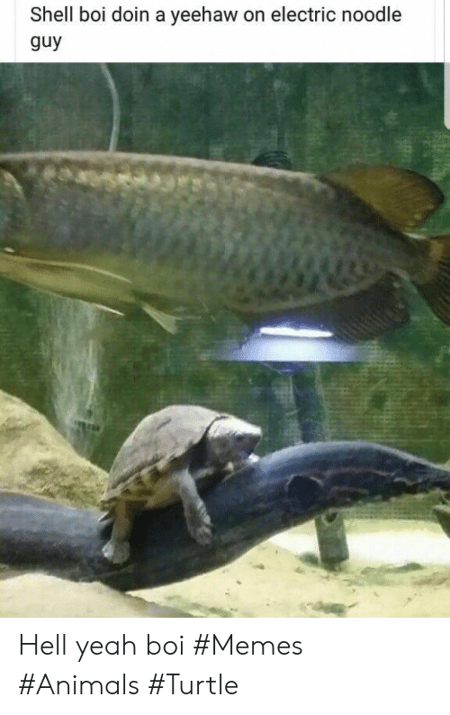Animals, Memes, and Yeah: Shell boi doin a yeehaw on electric noodle  guy Hell yeah boi #Memes #Animals #Turtle