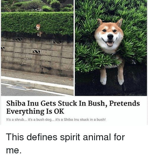 Shiba Inu: Shiba Inu Gets Stuck In Bush, Pretends  Everything Is OK  It's a shrub... it's a bush dog... it's a Shiba Inu stuck in a bush! This defines spirit animal for me.