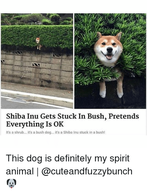 Shiba Inu: Shiba Inu Gets Stuck In Bush, Pretends  Everything Is OK  It's a shrub... it's a bush dog... it's a Shiba Inu stuck in a bush! This dog is definitely my spirit animal | @cuteandfuzzybunch 🐶