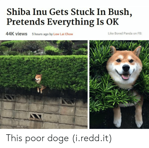 Shiba Inu: Shiba Inu Gets Stuck In Bush,  Pretends Everything Is OK  44K views  5 hours ago by Low Lai Chow  Like Bored Panda on FB: This poor doge (i.redd.it)