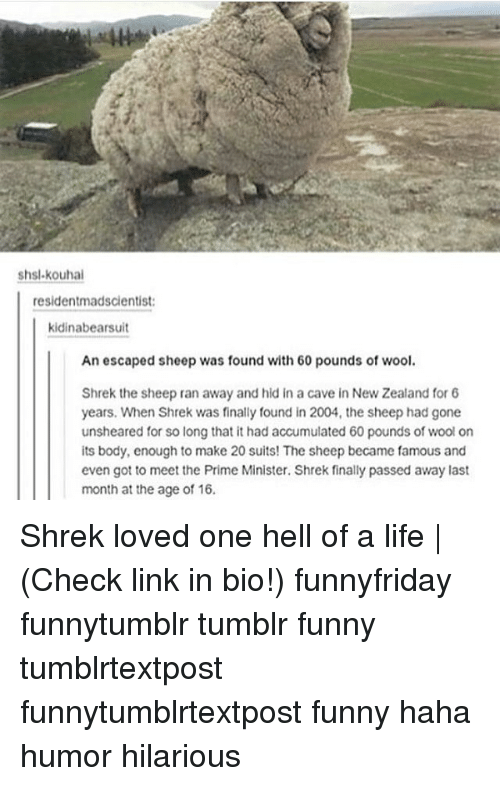Funny, Life, and Memes: shsl.kouhai  residentmadscientist  kidinabearsuit  An escaped sheep was found with 60 pounds of wool.  Shrek the sheep ran away and hid in a cave in New Zealand for 6  years. When Shrek was finally found in 2004, the sheep had gone  unsheared for so long that it had accumulated 60 pounds of wool on  its body, enough to make 20 suits! The sheep became famous and  even got to meet the Prime Minister. Shrek finally passed away last  month at the age of 16. Shrek loved one hell of a life | (Check link in bio!) funnyfriday funnytumblr tumblr funny tumblrtextpost funnytumblrtextpost funny haha humor hilarious