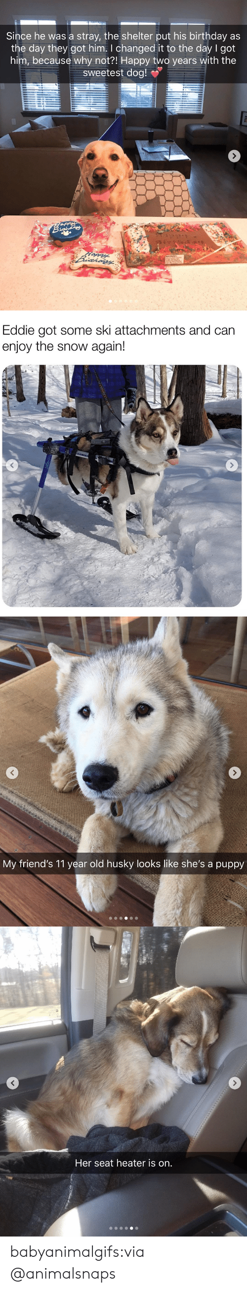 Birthday, Friends, and Tumblr: Since he was a stray, the shelter put his birthday as  the day they got him. I changed it to the day l got  him, because why not?! Happy two years with the  sweetest dog!   Eddie got some ski attachments and can  enjoy the snow again!   My friend's 11 year old husky looks like she's a puppy   Her seat heater is on. babyanimalgifs:via @animalsnaps
