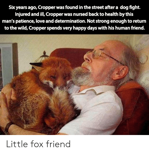 Love, Happy, and Patience: Six years ago, Cropper was found in the street after a dog fight.  Injured and ill, Cropper was nursed back to health by this  man's patience, love and determination. Not strong enough to return  to the wild, Cropper spends very happy days with his human friend. Little fox friend
