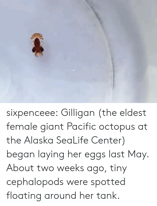 Tumblr, Alaska, and Blog: sixpenceee: Gilligan (the eldest female giant Pacific octopus at the Alaska SeaLife Center) began laying her eggs last May. About two weeks ago, tiny cephalopods were spotted floating around her tank.