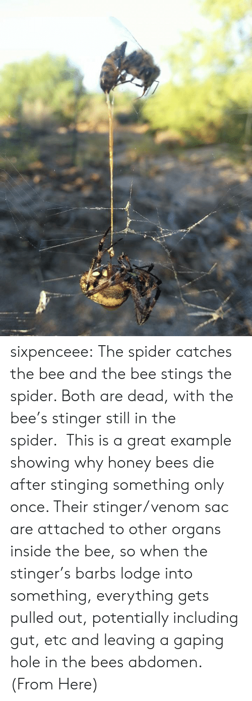 gaping: sixpenceee:  The spider catches the bee and the bee stings the spider. Both are dead, with the bee's stinger still in the spider.This is a great example showing why honey bees die after stinging something only once. Their stinger/venom sac are attached to other organs inside the bee, so when the stinger's barbs lodge into something, everything gets pulled out, potentially including gut, etc and leaving a gaping hole in the bees abdomen. (From Here)