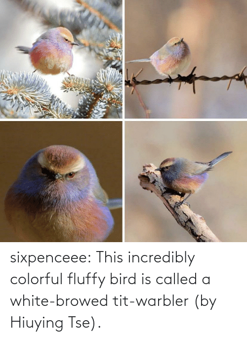 tumblr blog: sixpenceee:  This incredibly colorful fluffy bird is called a white-browed tit-warbler (by Hiuying Tse).