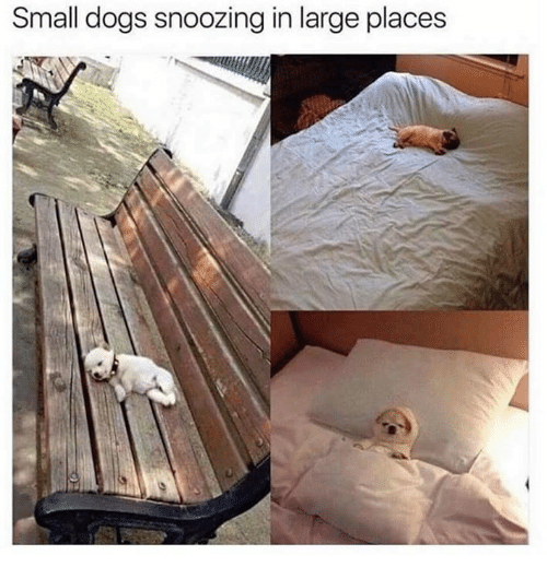 small dogs: Small dogs snoozing in large places