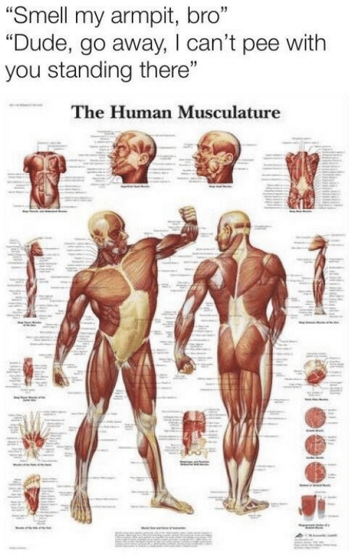 """Dude, Smell, and Armpit: """"Smell my armpit, bro""""  """"Dude, go away, lcan't pee with  you standing there""""  The Human Musculature"""