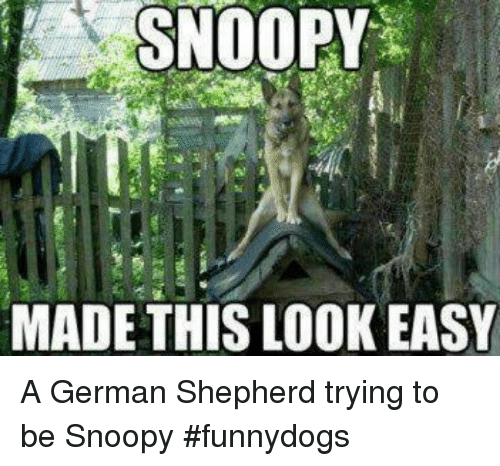 Snoopy: SNOOPY  MADE THIS LOOK EASY A German Shepherd trying to be Snoopy #funnydogs