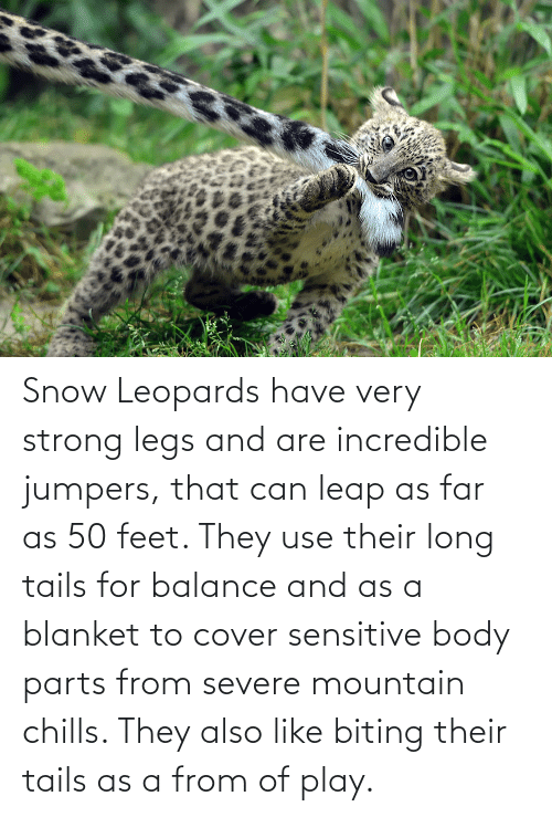 chills: Snow Leopards have very strong legs and are incredible jumpers, that can leap as far as 50 feet. They use their long tails for balance and as a blanket to cover sensitive body parts from severe mountain chills. They also like biting their tails as a from of play.