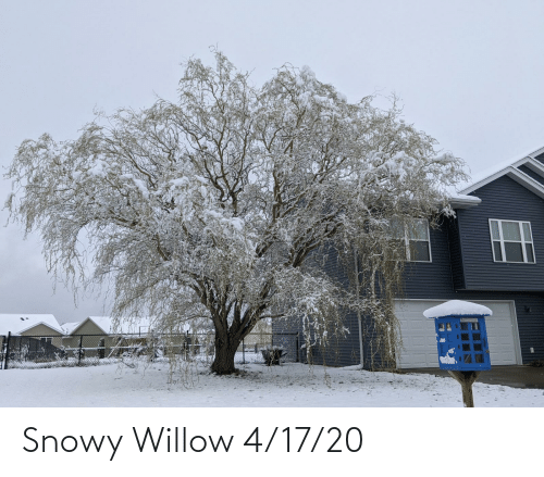 willow: Snowy Willow 4/17/20