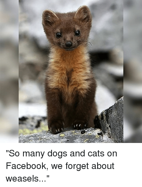 """weasels: """"So many dogs and cats on Facebook, we forget about weasels..."""""""