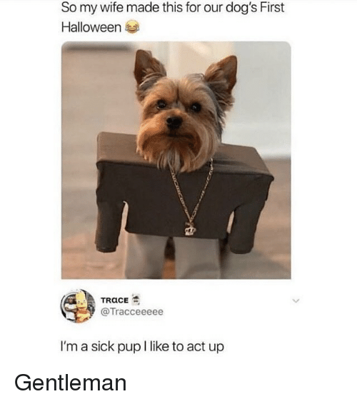 Dogs, Funny, and Halloween: So my wife made this for our dog's First  Halloween 부  @Tracceeeee  I'm a sick pup I like to act up Gentleman