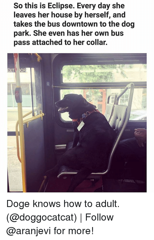 doges: So this is Eclipse. Every day she  leaves her house by herself, and  takes the bus downtown to the dog  park. She even has her own bus  pass attached to her collar.  OR  XIT Doge knows how to adult. (@doggocatcat)   Follow @aranjevi for more!