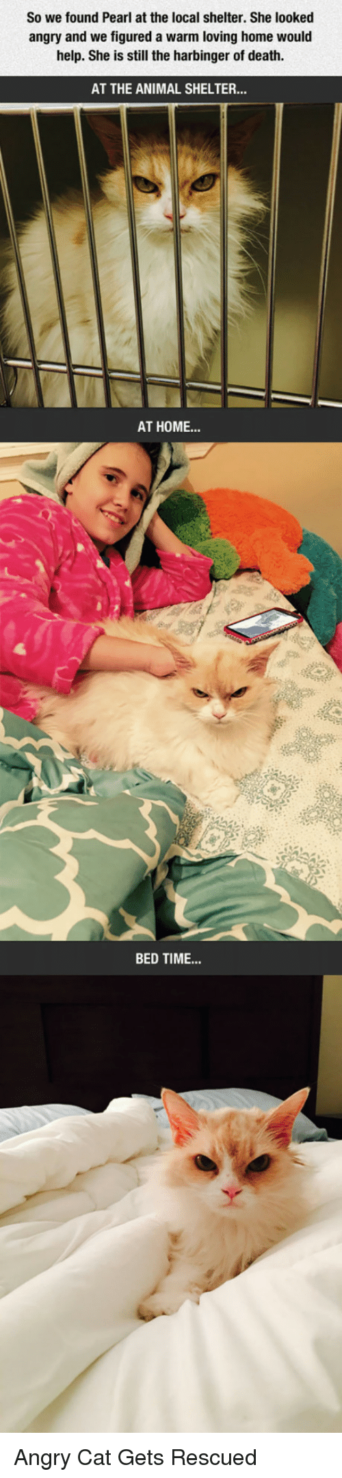 Angry Cat: So we found Pearl at the local shelter. She looked  angry and we figured a warm loving home would  help. She is still the harbinger of death.  AT THE ANIMAL SHELTER.  AT HOME...  BED TIME <p>Angry Cat Gets Rescued</p>