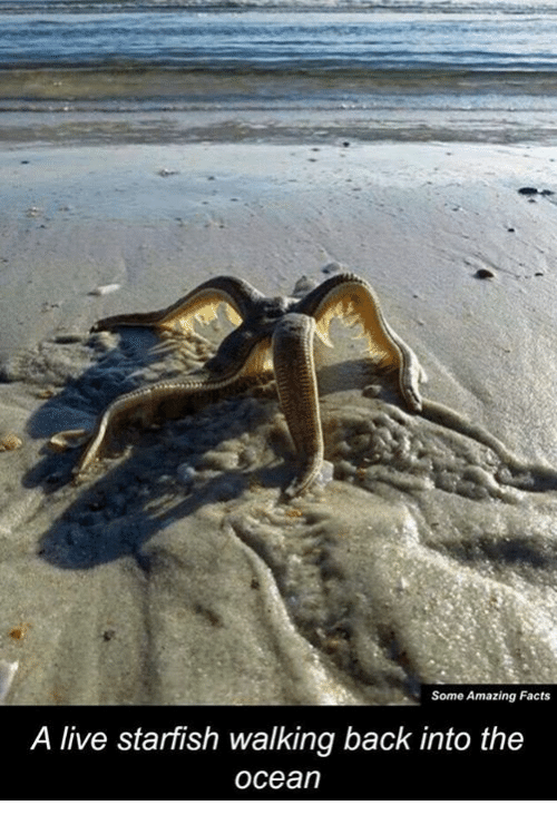 Starfishing: Some Amazing Facts  A live starfish walking back into the  Ocean