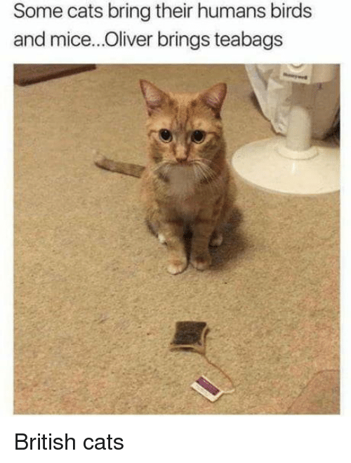 Cats, Birds, and British: Some cats bring their humans birds  and mice..Oliver brings teabags British cats