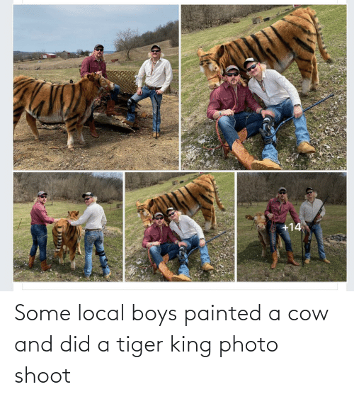 Tiger: Some local boys painted a cow and did a tiger king photo shoot