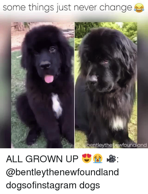 all grown up: some things just never change  bentleythe ewfoundland ALL GROWN UP 😍😭 🎥: @bentleythenewfoundland dogsofinstagram dogs