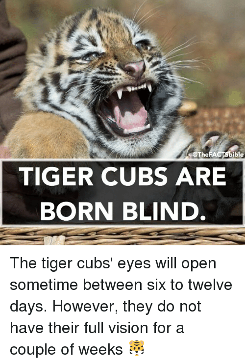 coupling: SOTheFACTSbible  TIGER CUBS ARE  BORN BLIND The tiger cubs' eyes will open sometime between six to twelve days. However, they do not have their full vision for a couple of weeks 🐯