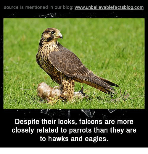 Relatables: source Is mentioned In our blog  www.unbelievablefactsblog.com  Despite their looks, falcons are more  closely related to parrots than they are  to hawks and eagles.