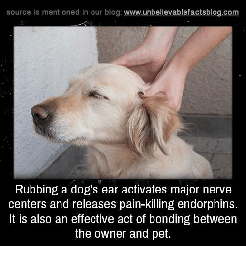 nerv: source Is mentioned In our blog  www.unbelievablefactsblog.com  Rubbing a dog's ear activates major nerve  centers and releases pain-killing endorphins.  It is also an effective act of bonding between  the owner and pet.