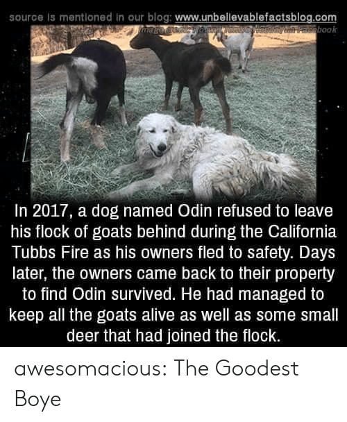 Boye: source is mentioned in our blog: www.unbellevablefactsblog.com  aveebook  In 2017, a dog named Odin refused to leave  his flock of goats behind during the California  Tubbs Fire as his owners fled to safety. Days  later, the owners came back to their property  to find Odin survived. He had managed to  keep all the goats alive as well as some small  deer that had joined the flock. awesomacious:  The Goodest Boye