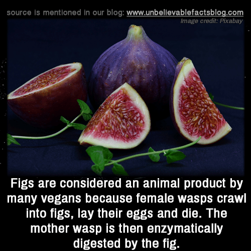 wasp: source is mentioned in our blog: www.unbellevablefactsblog.com  Image credit: Pixabay  Figs are considered an animal product by  many vegans because female wasps crawl  into figs, lay their eggs and die. The  mother wasp is then enzymatically  digested by the fig.